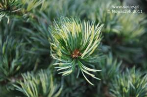 Sosna drobnokwiatowa Shikoken
