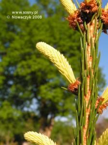 Świerk pospolity Finedonensis