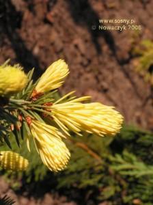 Świerk kłujący Maigold